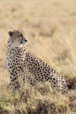 Cheetah n the  Masai Marra reserve in Kenya Africa 写真素材