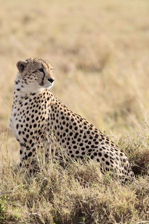 Cheetah n the  Masai Marra reserve in Kenya Africa Standard-Bild