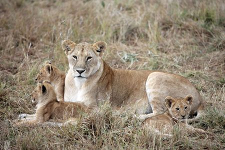 vrouwelijke leeuw en leeuwenwelp in het Masai Marra-reservaat in Kenia, Afrika Stockfoto