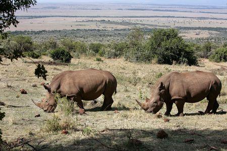 Rhinocéros blanc dans la réserve du Masai Marra au Kenya Afrique