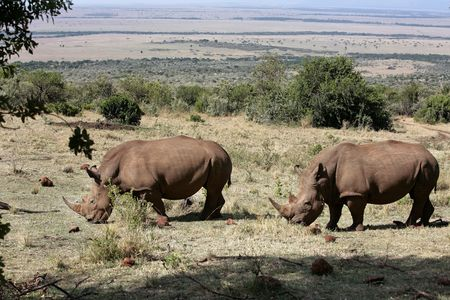 White Rhinoceros in the  Masai Marra reserve in Kenya Africa 版權商用圖片
