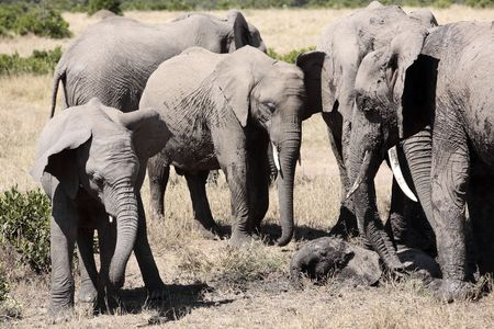 Éléphants jouant avec de la boue pour se protéger de la chaleur et du soleil