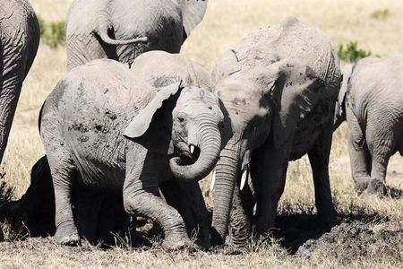 Elephants playing with mud to protect them from heat and sun Stock Photo