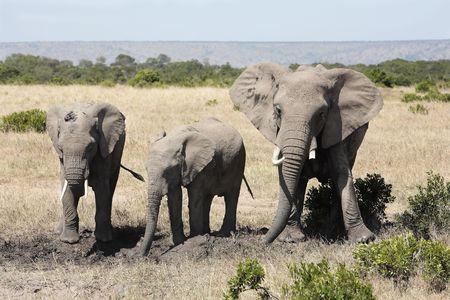 Elefanten, die mit Schlamm spielen, um sie vor Hitze und Sonne zu schützen