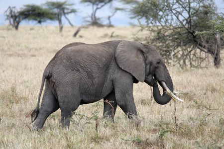 male African elephant Imagens