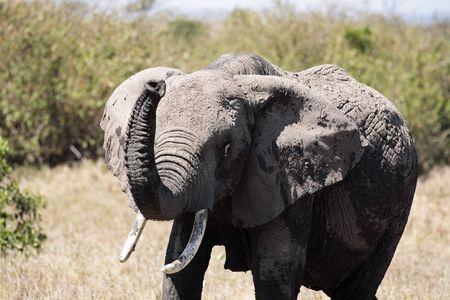 male African elephant Фото со стока