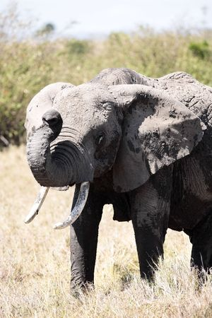 male African elephant 스톡 콘텐츠