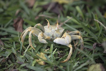 Ghost crab of Curieuse or curious island one of the seychelles island  Zdjęcie Seryjne