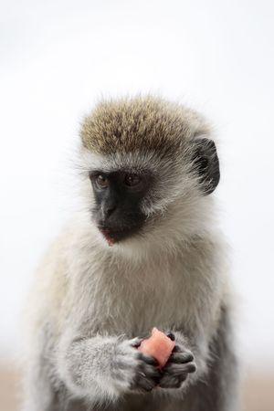 Vervet Monkey Chlorocebus steeling food in the masai mara reserve in kenya africa Stock Photo