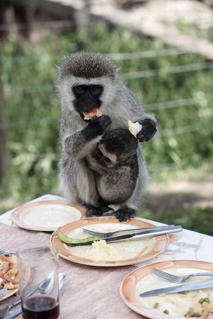 Vervet Monkey Chlorocebus steeling food in the masai mara reserve in kenya africa 版權商用圖片