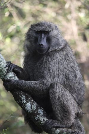 baboon sittin on a tree of the forest in the beautiful reserve of masai mara in kenya africa Stockfoto - 121744224