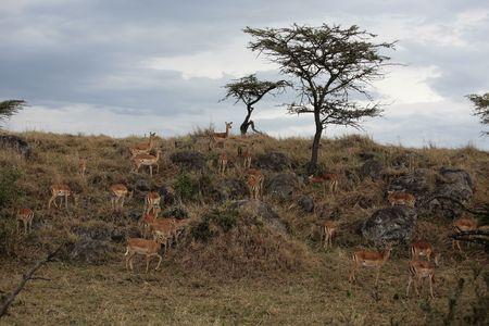 Impala Aepyceros melampus grazing in the beautiful reserve of masai mara in kenya africa Banque d'images - 121744225