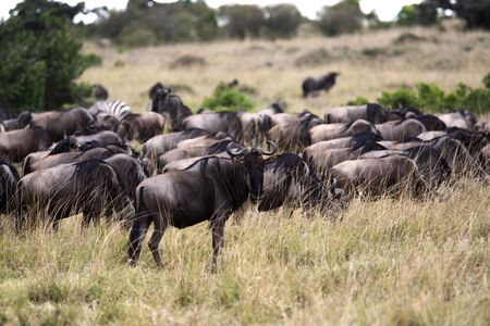 Wildebeest grazing  in the beautiful reserve of masai mara in kenya africa Stockfoto - 121744234