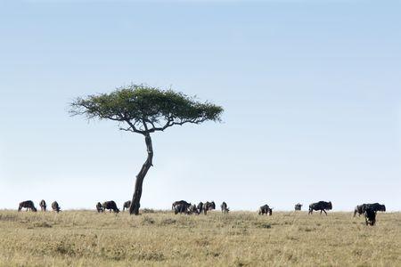 Los ñus pastando en la hermosa reserva de masai mara en kenia áfrica
