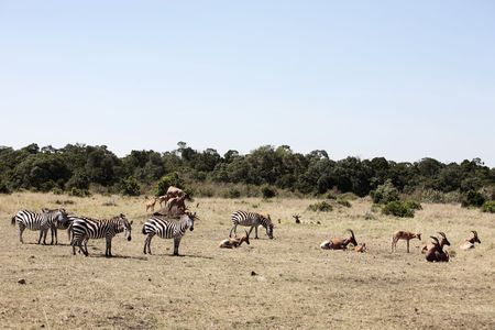 zebras and topis grazing in the beautiful reserve of masai mara in kenya africa