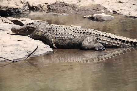 Crocodile Crocodylidae in the mara river in masai mara reserve at the border of kenya and tanzania in africa