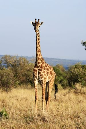 Masai or Kilimanjaro Giraffe Giraffidae grazing in the beautiful plains of the masai mara reserve in kenya africa 免版税图像 - 121744245