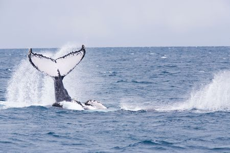 Humpback jubarte Whale of abrolhos islands in bahia state brazil Stock Photo - 121744471