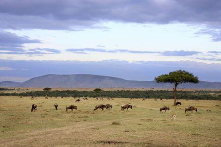 en las hermosas llanuras de la reserva masai en kenia africa