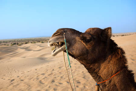 camel sitting khuri dunes in thar desert near jaisalmer in rajasthan state in india Stock Photo - 9823789