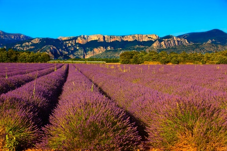 french riviera: french provence lavender field in the verdon