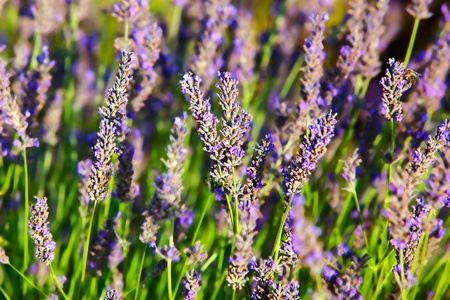 french provence lavender field in the verdon Stock Photo - 9823809