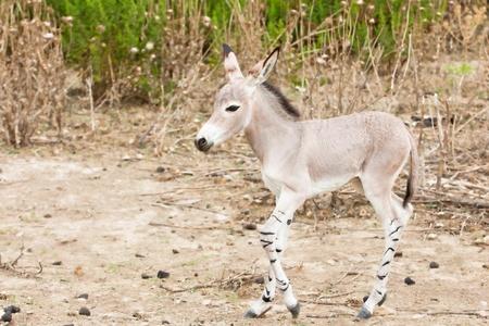 somali: somali wild ass in nature