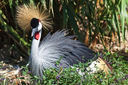 Black Crowned Crane in nature Stock Photo - 11628192