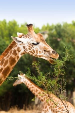 full length herbivore: giraffe eating branch leaf in nature
