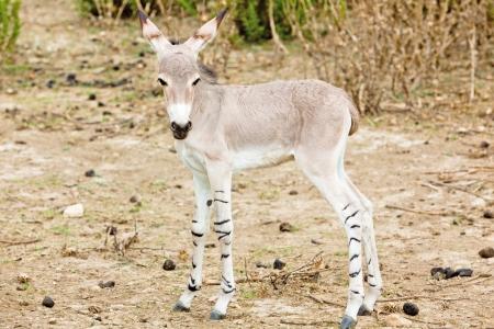 somali: jackass baby in nature Stock Photo