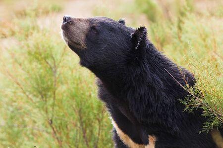 black bear: Asian nero ritratto orso in natura