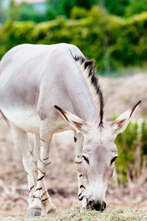 somali: culo somal� salvaje comiendo hierba en la naturaleza
