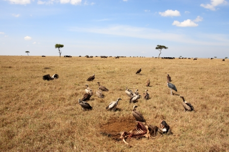 cadaver: in the beautiful plains of the masai reserve in kenya africa