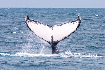 Humpback jubarte Whale of abrolhos islands in bahia state brazil photo