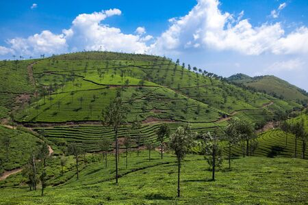 agriculture india: in Nelliyampaty Hills Tea Fields in mumnar Kerala state india