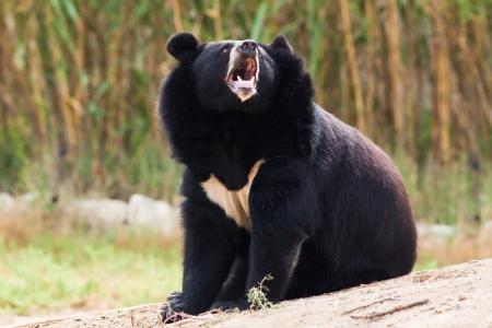 ursus: Asian Black Bear  roaring in nature
