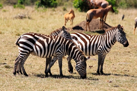 maasai: The Grevy s zebra (Equus grevyi), sometimes known as the imperial zebra, is the largest species of zebra. It is found in the masai mara reserve in kenya africa