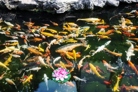 koy: koi fish pond in the The Jade Buddha Temple shanghai china