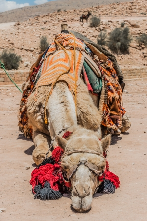 nabatean: camels in nabatean petra jordan middle east