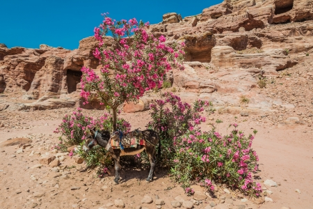 nabatean: donkey in nabatean petra jordan middle east
