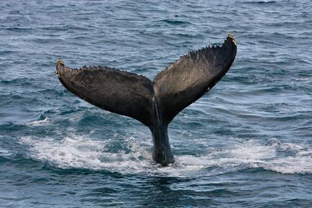 megaptera novaeangliae: Humpback jubarte Whale of abrolhos islands in bahia state brazil