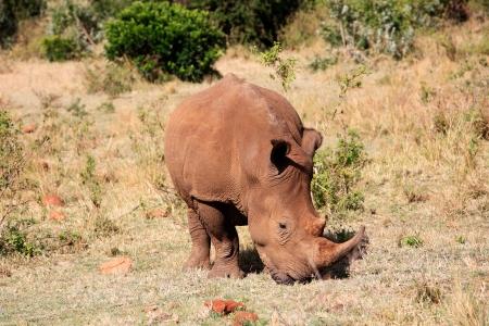 White Rhinoceros in the  Masai Marra reserve in Kenya Africa photo