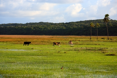 cows rice plantation field in bahia state brazil photo