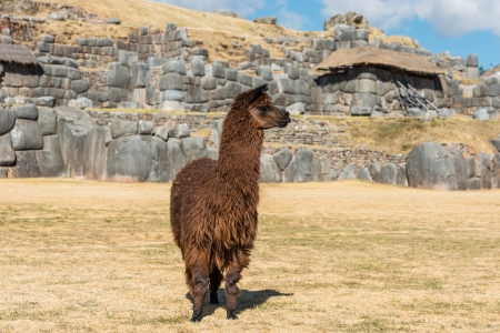vicugna pacos: Alpaca at Sacsayhuaman, Incas ruins in the peruvian Andes at Cuzco Peru South America