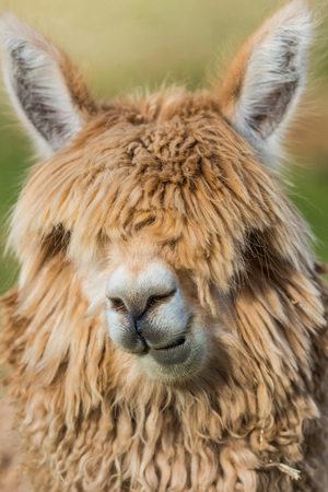 cuzco: alpaca portrait in the peruvian Andes at Cuzco Peru Stock Photo