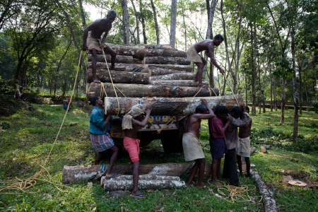 kerala culture: Plantation Tree Harvesting in forest in  Kerala state indi