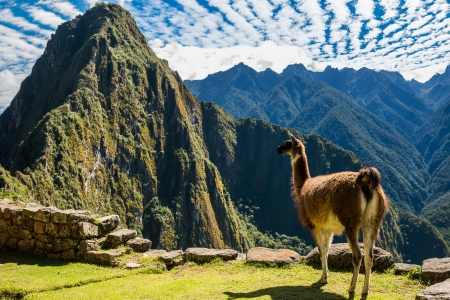 cuzco: Llama at Machu Picchu, Incas ruins in the peruvian Andes at Cuzco Peru Stock Photo