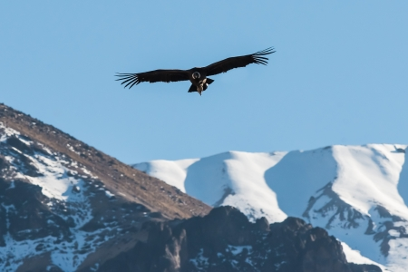 andean: Andean condor flying in the Colca Canyon in the peruvian Andes at Arequipa Peru