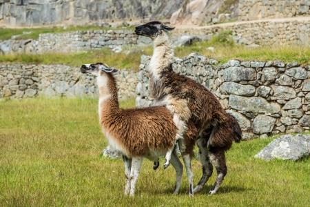 sexual activity: Llamas at Machu Picchu, Incas ruins in the peruvian Andes at Cuzco Peru