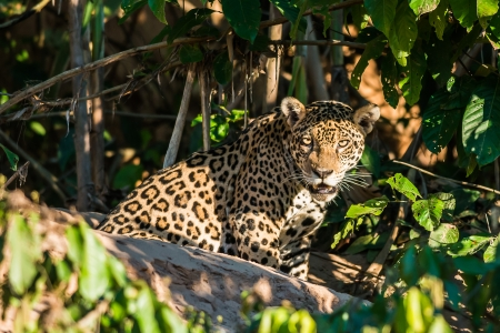 jaguar in the peruvian Amazonian jungle at Madre de Dios Stock Photo